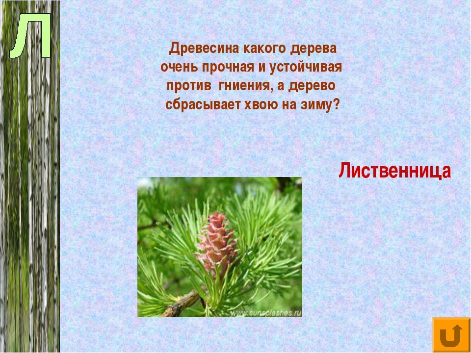 Древесина какого дерева очень прочная и устойчивая против гниения, а дерево...