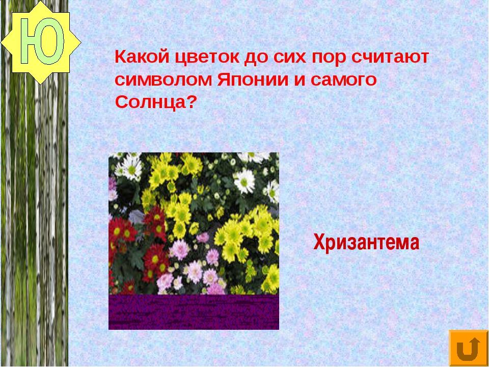 Хризантема Какой цветок до сих пор считают символом Японии и самого Солнца?