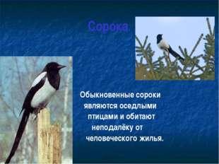 Сорока. Обыкновенные сороки являются оседлыми птицами и обитают неподалёку от