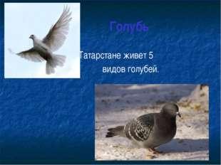 Голубь В Татарстане живет 5 видов голубей.