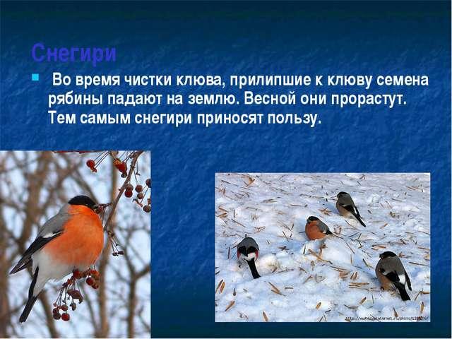 Снегири Во время чистки клюва, прилипшие к клюву семена рябины падают на зем...
