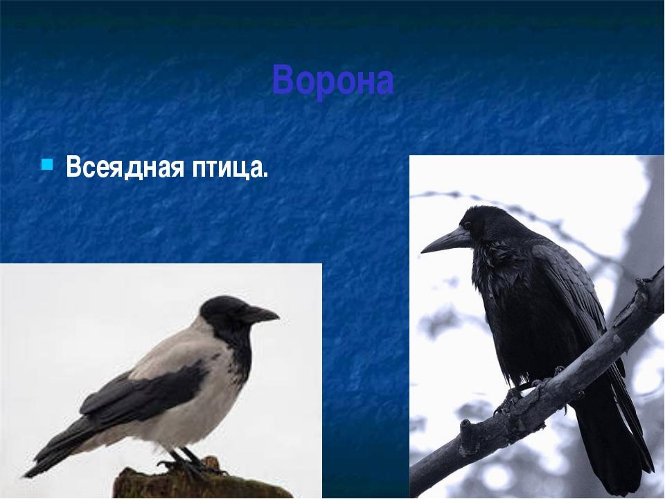 Ворона Всеядная птица.