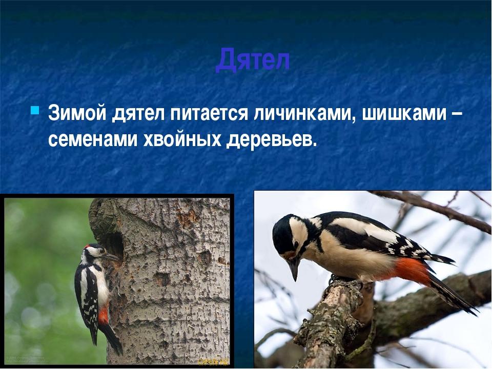 Дятел Зимой дятел питается личинками, шишками – семенами хвойных деревьев.