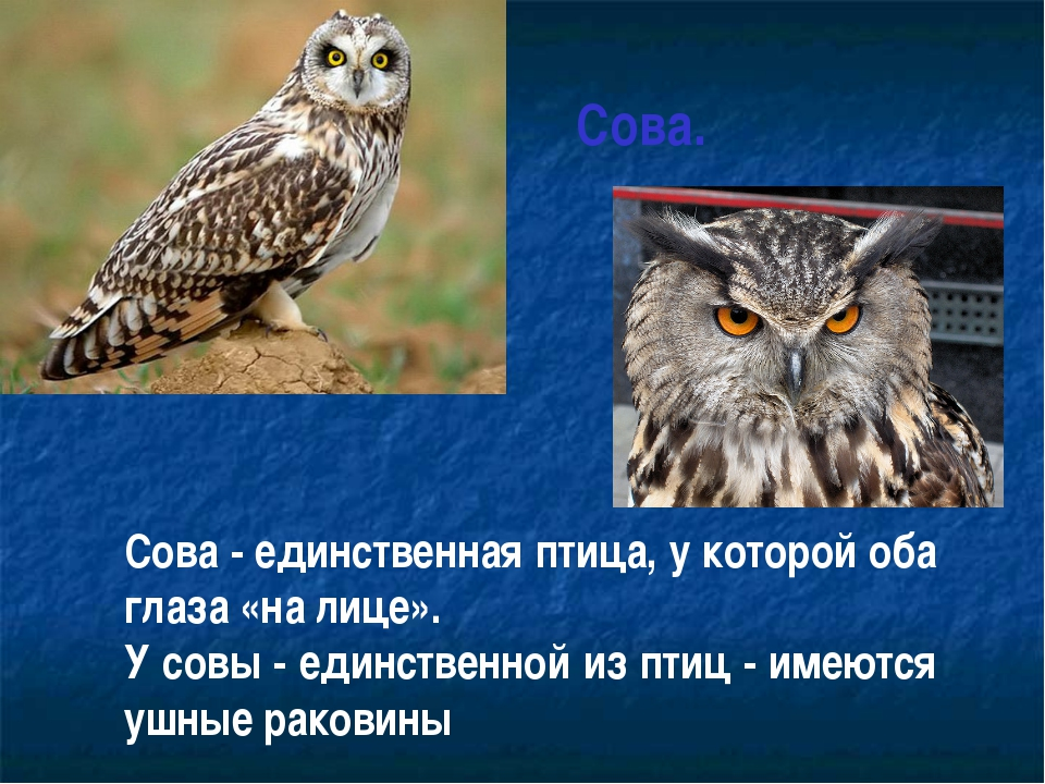 Сова. Сова - единственная птица, у которой оба глаза «на лице». У совы - еди...
