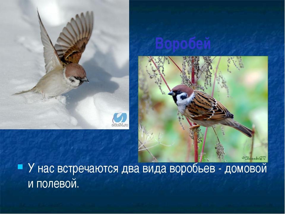Воробей У нас встречаются два вида воробьев - домовой и полевой.