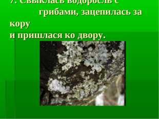 7. Свыклась водоросль с грибами, зацепилась за кору и пришлася ко двору.