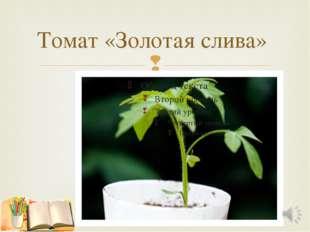 Томат «Золотая слива» 