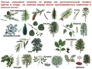 Листья, оказывают влияние на форму как дополнительный элемент Цветки и плоды