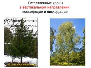 Естественные кроны в вертикальном направлении: восходящие и нисходящие Сосна