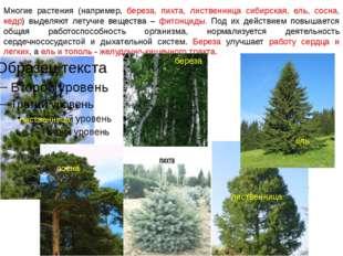 Многие растения (например, береза, пихта, лиственница сибирская, ель, сосна,