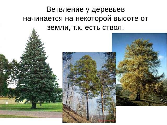 Ветвление у деревьев начинается на некоторой высоте от земли, т.к. есть ствол.