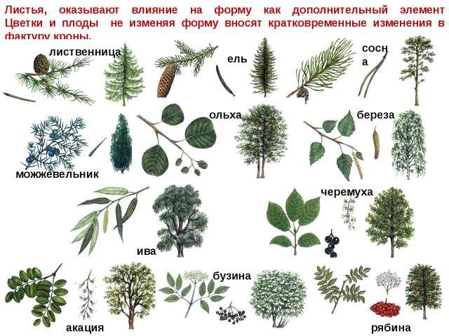 Листья, оказывают влияние на форму как дополнительный элемент Цветки и плоды...