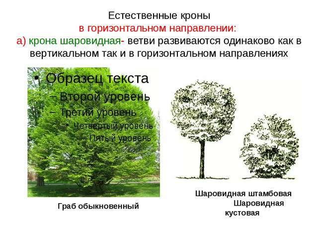 Естественные кроны в горизонтальном направлении: а) крона шаровидная- ветви р...
