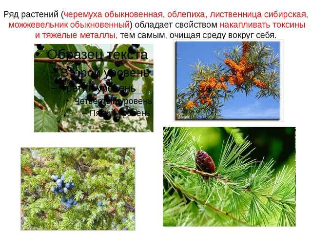 Ряд растений (черемуха обыкновенная, облепиха, лиственница сибирская, можжеве...