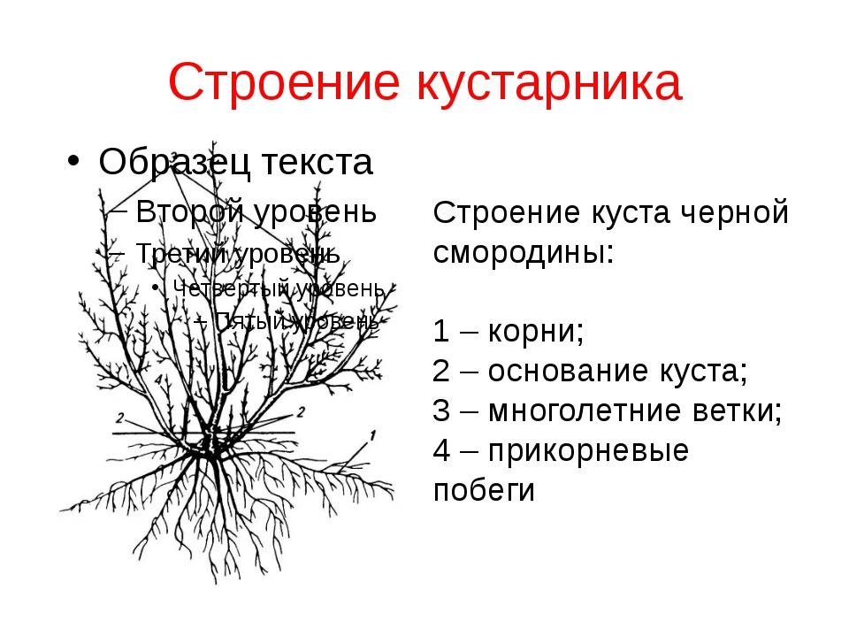 Строение кустарника Строение куста черной смородины: 1 – корни; 2 – основание...