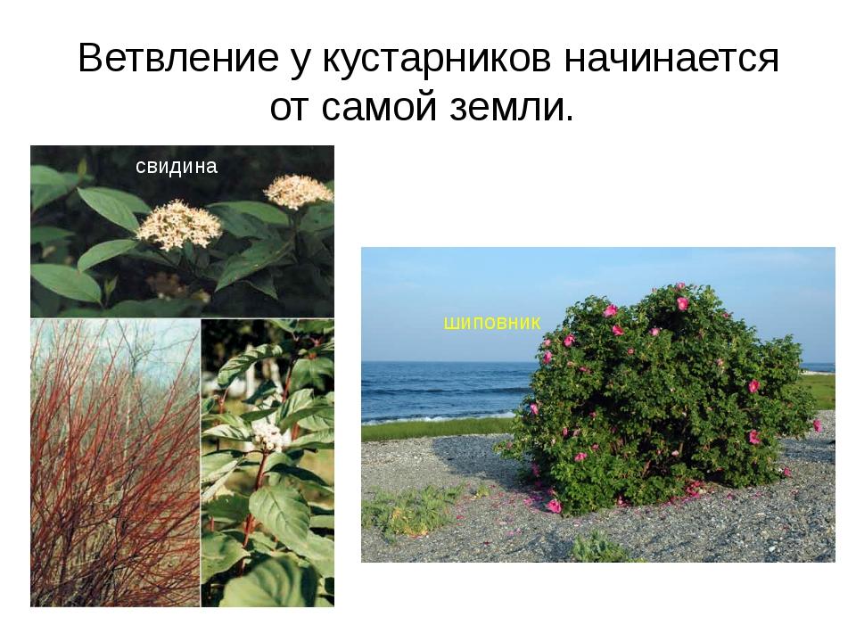 Ветвление у кустарников начинается от самой земли. свидина шиповник