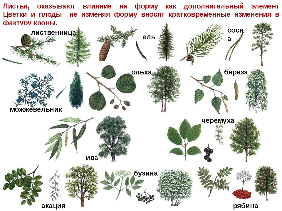 деревья средней полосы россии фото и названия менее, передо