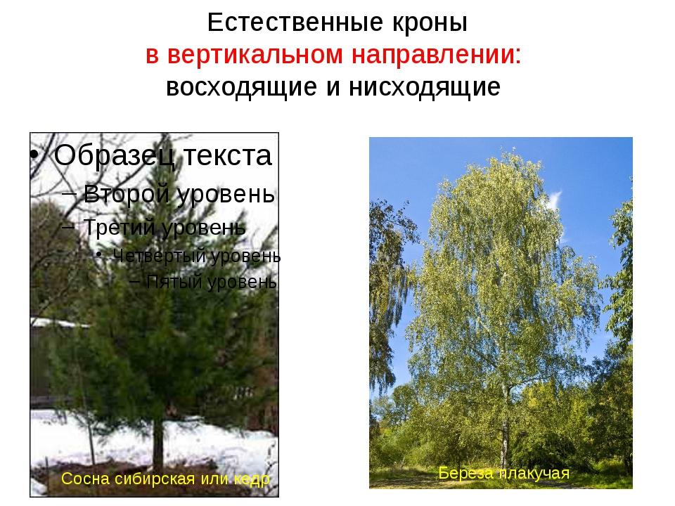 Естественные кроны в вертикальном направлении: восходящие и нисходящие Сосна...