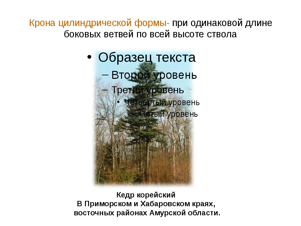 Крона цилиндрической формы- при одинаковой длине боковых ветвей по всей высот...