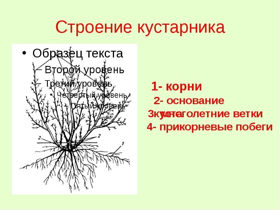 Строение кустарника 1- корни 2- основание куста 3- многолетние ветки 4- прико...