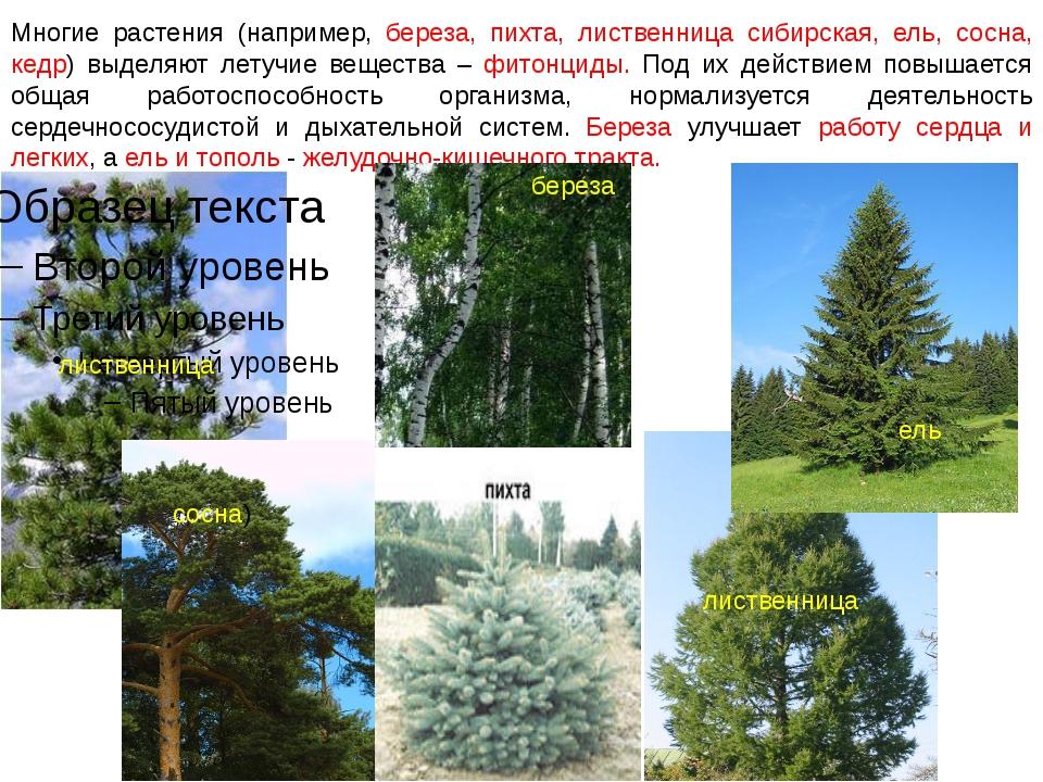 Многие растения (например, береза, пихта, лиственница сибирская, ель, сосна,...