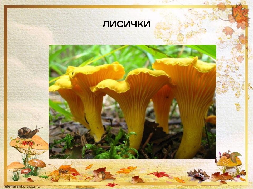 грибы лисички картинки описание полдень