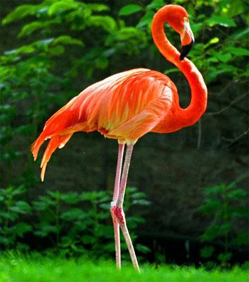 Какого цвета фламинго?