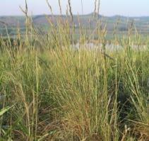 Типчак растение. Фото