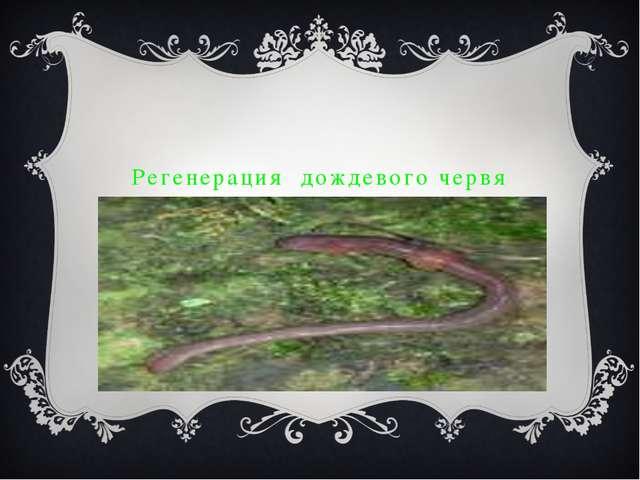 Регенерация дождевого червя