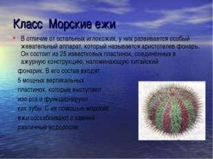 Класс Морские ежи В отличие от остальных иглокожих, у них развивается особый