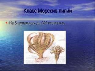 Класс Морские лилии На 5 щупальцах до 200 отростков.
