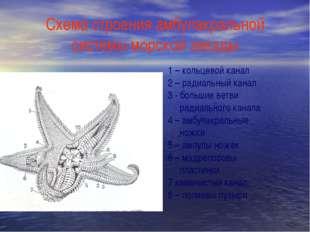 Схема строения амбулакральной системы морской звезды 1 – кольцевой канал 2 –