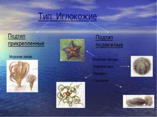 Тип Иглокожие Подтип прикрепленные Подтип подвижные Морские лилии Морские зве