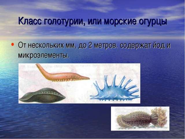 Класс голотурии, или морские огурцы От нескольких мм, до 2 метров. содержат й...