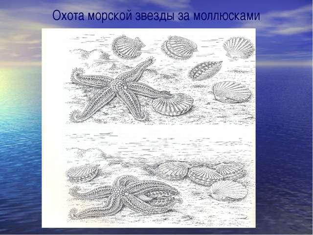 Охота морской звезды за моллюсками