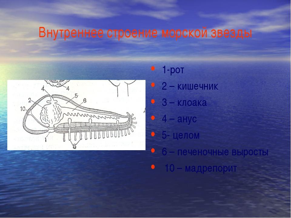 Внутреннее строение морской звезды 1-рот 2 – кишечник 3 – клоака 4 – анус 5-...