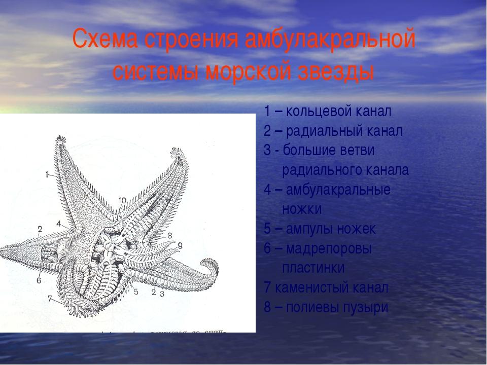 Схема строения амбулакральной системы морской звезды 1 – кольцевой канал 2 –...
