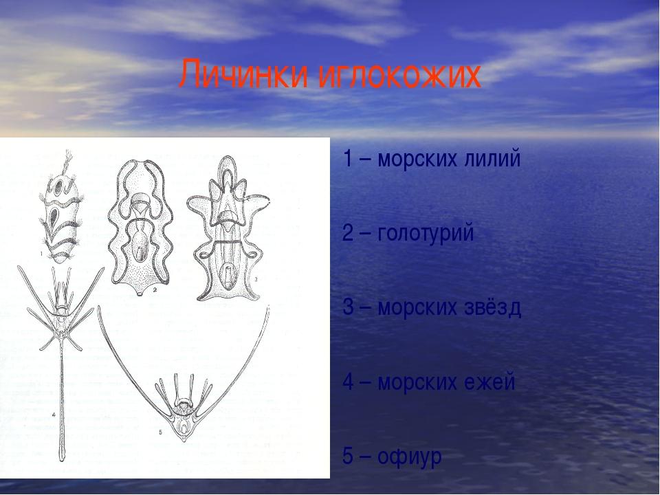 Личинки иглокожих 1 – морских лилий 2 – голотурий 3 – морских звёзд 4 – морск...