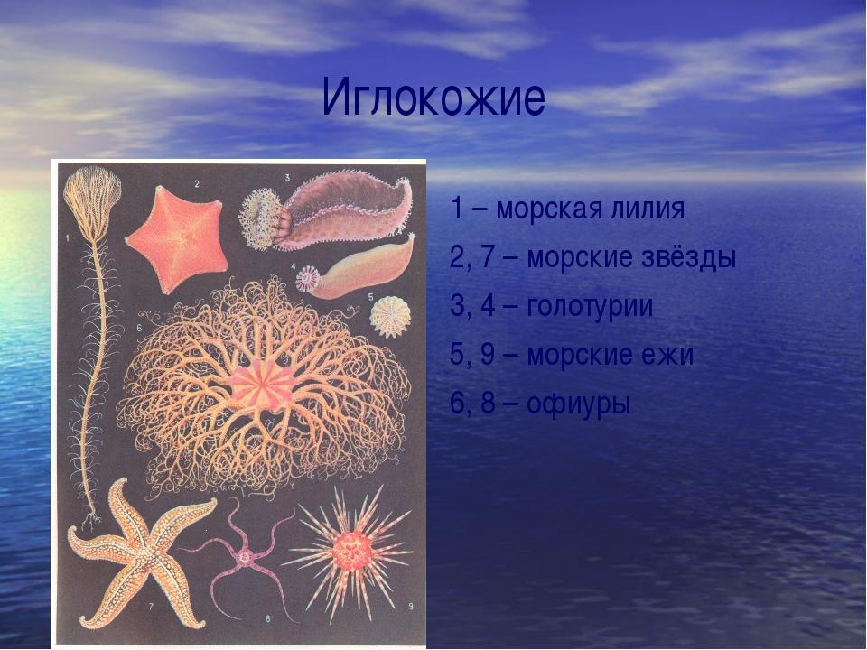 Иглокожие 1 – морская лилия 2, 7 – морские звёзды 3, 4 – голотурии 5, 9 – мор...
