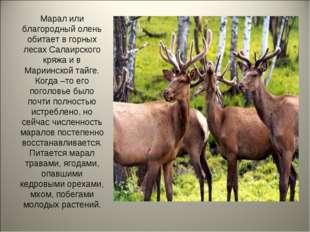 Марал или благородный олень обитает в горных лесах Салаирского кряжа и в Мари