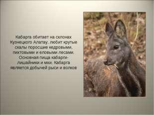 Кабарга обитает на склонах Кузнецкого Алатау, любит крутые скалы поросшие кед