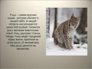 Рысь – самая крупная кошка , которая обитает в нашей тайге. В нашей области н
