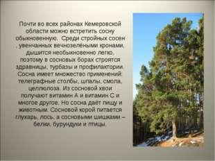 Почти во всех районах Кемеровской области можно встретить сосну обыкновенную.