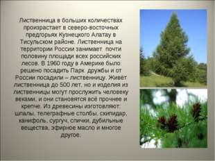 Лиственница в больших количествах произрастает в северо-восточных предгорьях