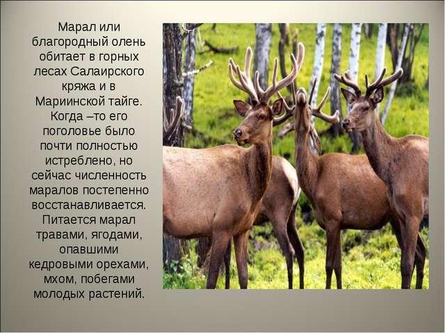 Марал или благородный олень обитает в горных лесах Салаирского кряжа и в Мари...