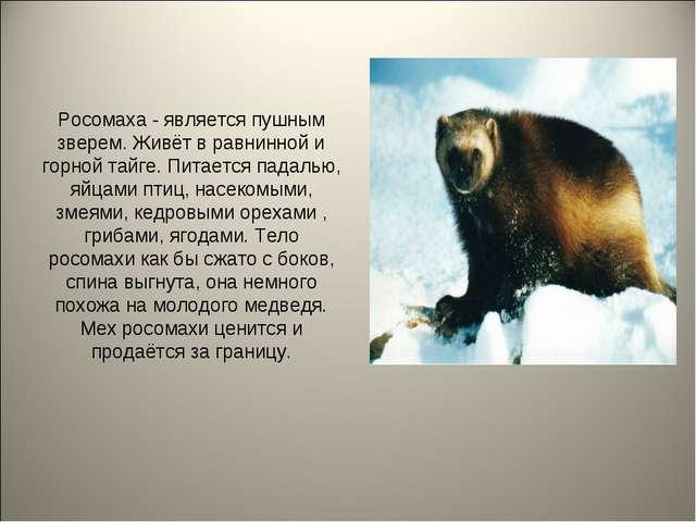 Росомаха - является пушным зверем. Живёт в равнинной и горной тайге. Питается...
