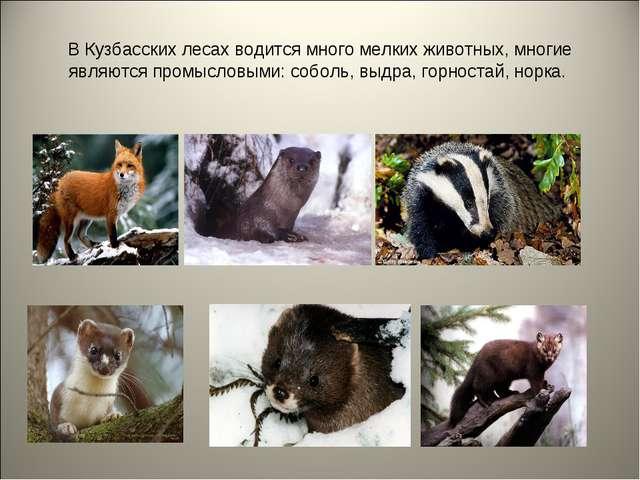 В Кузбасских лесах водится много мелких животных, многие являются промысловым...