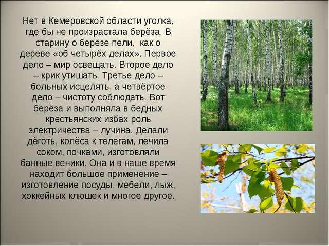 Нет в Кемеровской области уголка, где бы не произрастала берёза. В старину о...