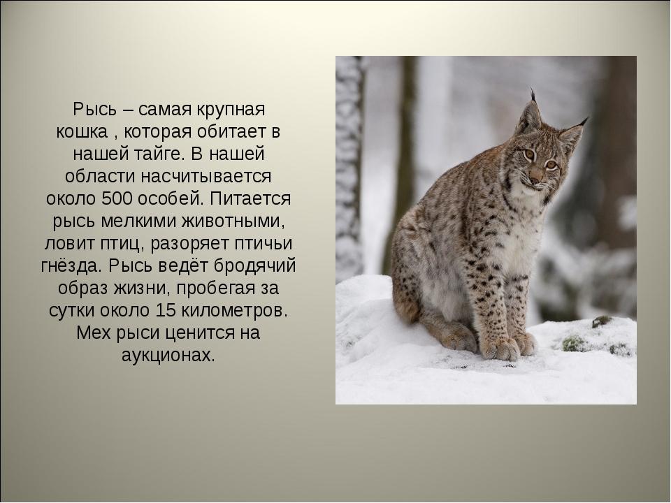 Рысь – самая крупная кошка , которая обитает в нашей тайге. В нашей области н...