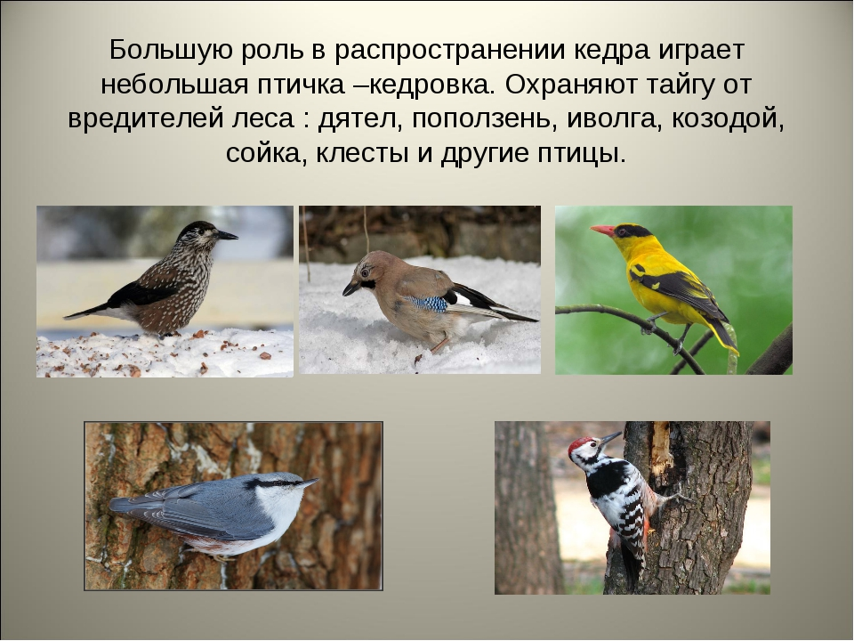 Большую роль в распространении кедра играет небольшая птичка –кедровка. Охран...